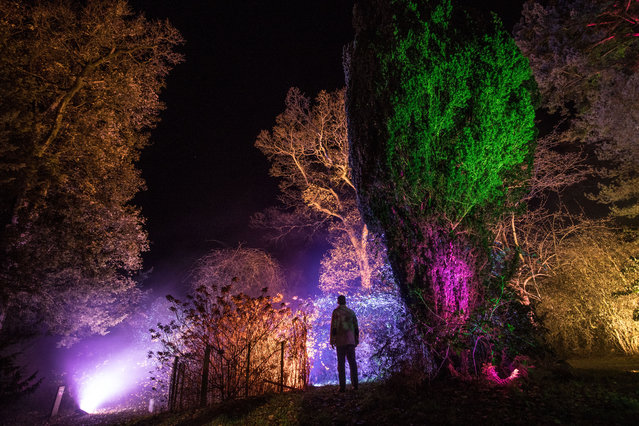 A man looks at trees that are illuminated at a preview for this year's Enchanted Christmas at the Forestry Commission's Westonbirt Arboretum near Tetbury, on November 29, 2018 in Gloucestershire, England. The popular annual festive attraction, which features illuminations and interactive features along the trail, will take place on weekends from the December 1 until December 23. (Photo by Matt Cardy/Getty Images)