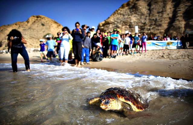 School children watch as volunteers of the Israeli sea turtle rescue center free a Loggerhead sea turtle back to the Mediterranean sea on November 21, 2013 in Gaash, Israel.  (Photo by Uriel Sinai/Getty Images)