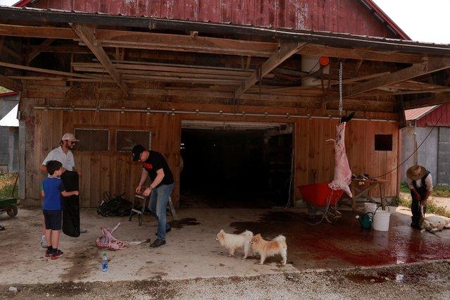 Eli, an Amish farmer, skins a sheep while Maher Chebbi and Tarek Hamada bag their sheep on the morning of Eid al-Adha in Orleans, Indiana, U.S., July 20, 2021. (Photo by Amira Karaoud/Reuters)
