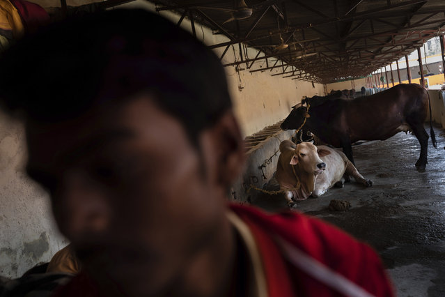In this Wednesday, December 12, 2018 photo, cows rest in a barn at Baghambari Math Gaddi in Prayagraj, India. Cows are considered sacred in Hindu-majority India, and slaughtering them or eating beef is illegal or restricted across much of the country. (Photo by Bernat Armangue/AP Photo)