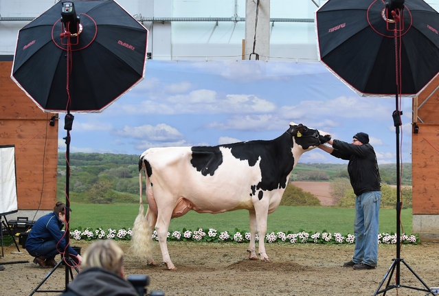 """A cow is made ready to be photographed during the 44th edition of the """"Schau der Besten"""" (Show of the Best) dairy cow beauty pageant on February 23, 2017 in Verden an der Aller, northwestern Germany. About 200 cows compete in 18 different categories. (Photo by Carmen Jaspersen/AFP Photo/DPA)"""