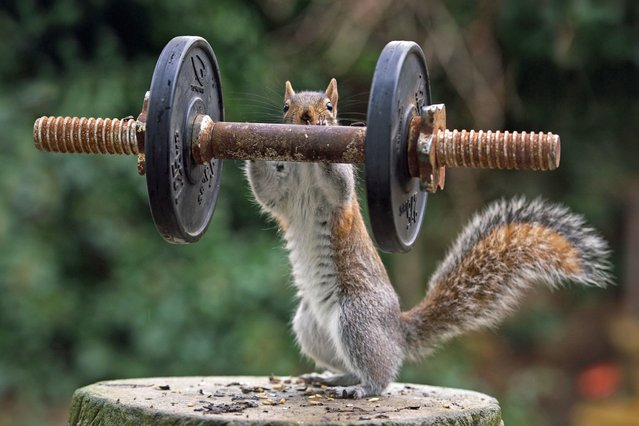 This squirrel must be nuts for exercise - as it appears to be lifting weights. (Photo by Caters News)