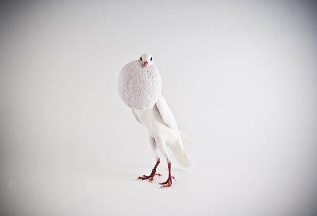 Voorburg Crooper. Darwin's Pigeons series. (Photo by Photo by Richard Bailey/Caters News)