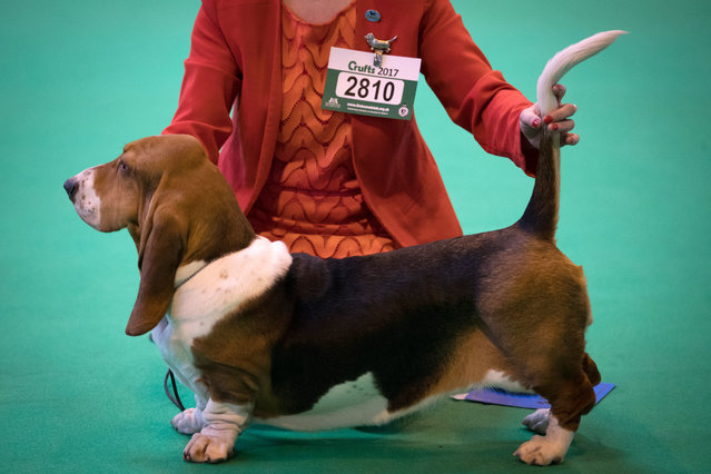 "Bassett Hounds are judged in a show ring on the first day of Crufts Dog Show at the NEC Arena on March 09, 2017 in Birmingham, England. First held in 1891, Crufts is said to be the largest show of its kind in the world, the annual four-day event, features thousands of dogs, with competitors travelling from countries across the globe to take part and vie for the coveted title of ""Best in Show"". (Photo by Matt Cardy/Getty Images)"