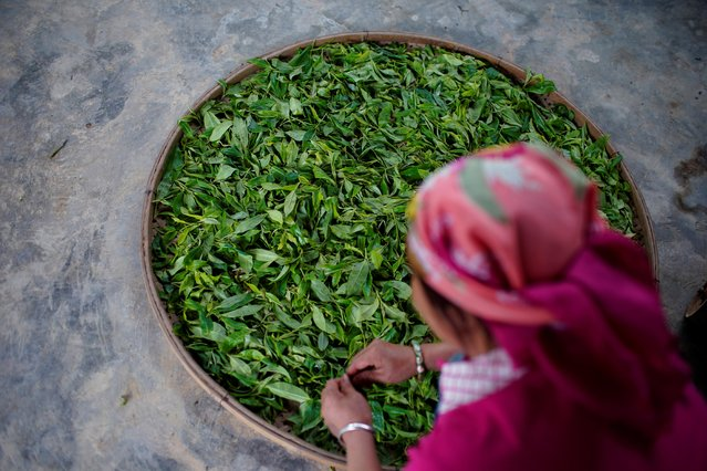 Tea leaves are left to dry at a tea plantation at a mountain village in Nannuoshan in Xishuangbanna Dai Autonomous Prefecture, Yunnan Province, China, July 12, 2019. (Photo by Aly Song/Reuters)