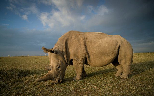A handout image made available by the Ol Pejeta Conservancy on August 23, 2019, shows a northern white female rhinos called Najin, 30, at the Ol Pejeta Conservancy in central Kenya on August 21, 2019. Veterinarians have successfully harvested eggs from the last two surviving northern white rhinos, taking them one step closer to bringing the species back from the brink of extinction, scientists said in Kenya on August 23, 2019. Science is the only hope for the northern white rhino after the death last year of the last male, named Sudan, at the Ol Pejeta Conservancy in Kenya where the groundbreaking procedure was carried out August 22, 2019. (Photo by Ami Vitale/AFP Photo)