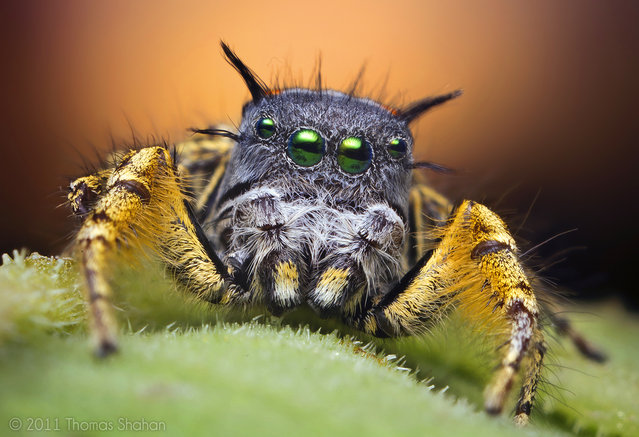 Adult Male Jumping Spider at Sunset – Phidippus mystaceus