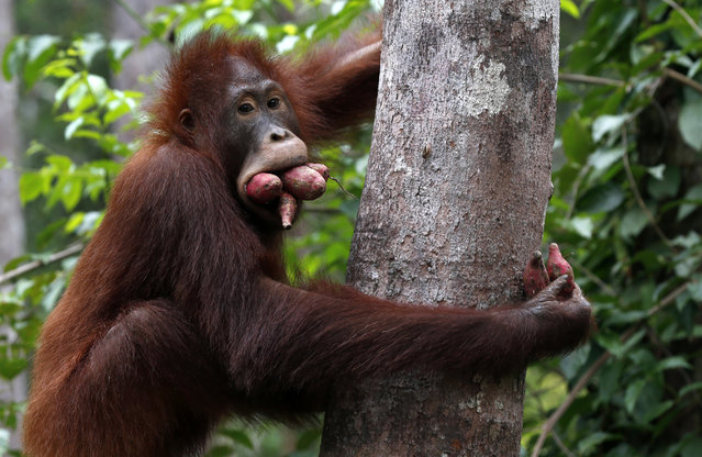 An orangutan with its mouth full of sweet potatoes leaves a feeding platform at Camp Leakey in Tanjung Puting National Park, in Kalimantan (Indonesian Borneo), Indonesia, September 3, 2013. (Photo by Barbara Walton/EPA)