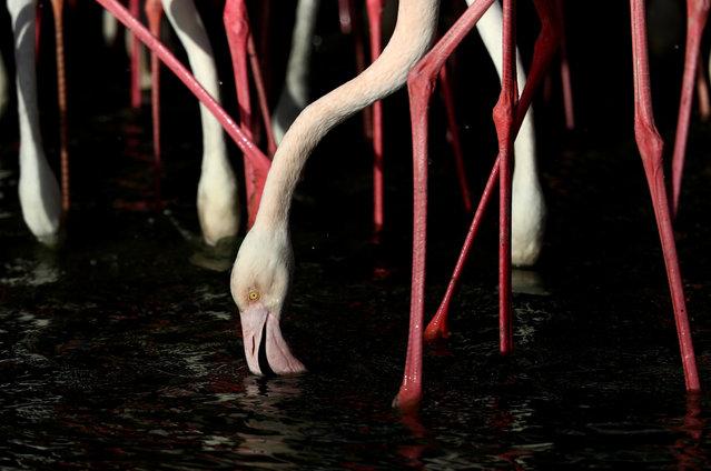 Flamingos feed at Ras Al Khor Wildlife Sanctuary on January 03, 2020 in Dubai, United Arab Emirates. (Photo by Francois Nel/Getty Images)