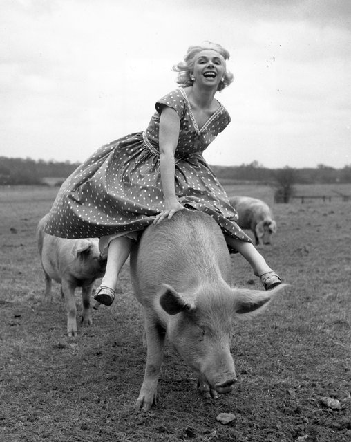 Horse racing commentator Joanne Mathews takes a break from the horses and has some fun with a local pig. 22nd March 1956. (Photo by John Pratt/Keystone Features)