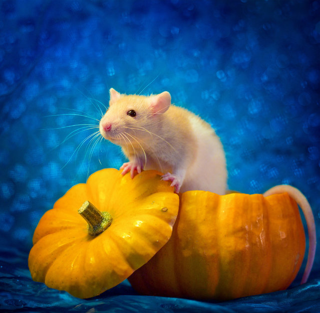 """""""These pictures played a great role in finding these rats their forever home and also helped some people overcome their phobia, so I decided to carry on and keep working on the series"""". (Photo by Diane Ozdamar/Caters News)"""