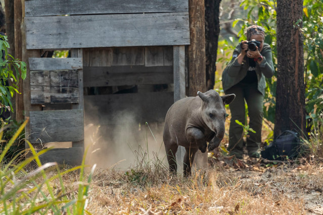 The conservationist Patrícia Medici, seen here photographing the release of a tapir, has been awarded 2020 Whitley wildlife conservation Gold Award. Tapirs are the largest land mammals in South America and are considered living fossils, having survived waves of extinction over millions of years. However, they now face human threats, including destruction of their habitat owing to expansion of large-scale agriculture, cattle ranching and mining. (Photo by Joao Marcos Rosa/2020 Whitley Awards)