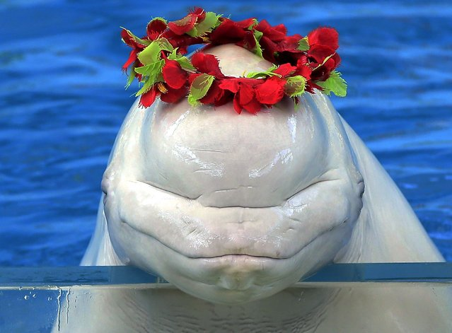 A white whale wears a wreath at the Hakkeijima Sea Paradise aquarium-amusement park complex in Yokohama, Japan, on October 3, 2012. (Photo by Associated Press)