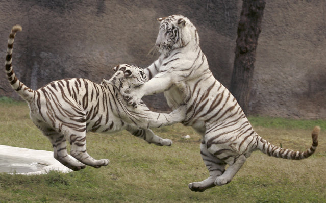 White tigers play inside their enclosure at a zoological park on the outskirts of Chandigarh January 12, 2008. (Photo by Ajay Verma/Reuters)