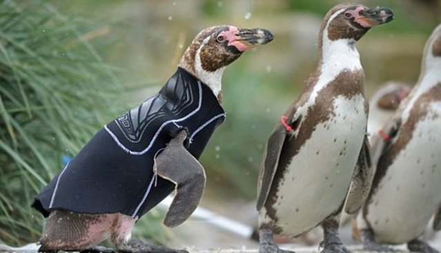 New Zealand Penguins in Need of Sweaters