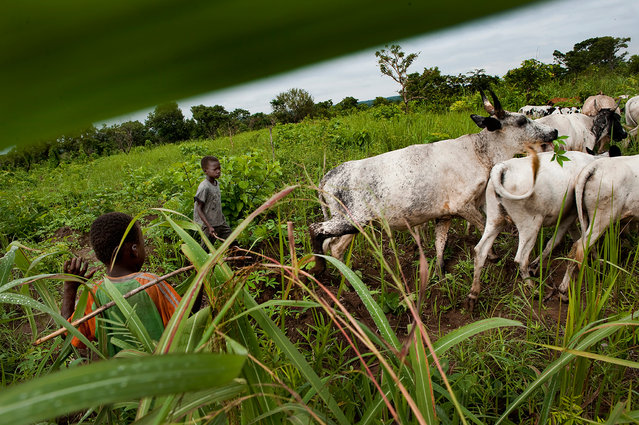 Two small boys are dwarfed in the African bush as they try to herd cattle. They herd the cows from sunrise to sunset with no hope of ever attending school. The village of Dawa in the Volta Region of northern Ghana. (Photo by Renée C. Byer/Living on a Dollar a Day)