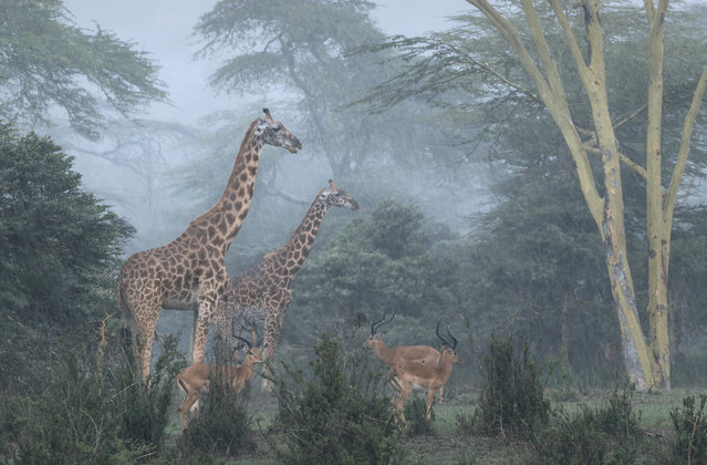 Wildlife Insight: Jose Fragozo (Portugal) – Nairobi National Park, Kenya. This image shows two giraffes and three impalas in the rain in the forest region of Nairobi national park, Kenya, which is also home to the Athi lion pride. I have observed these lions hunting many times in the rain, which possibly explains why different species of preyed animals stay together; it's a defence mechanism, so they can collectively sense predators better. In this case, however, the lions were far away. The photo was taken from inside a 4x4 vehicle, and the major challenge was keeping the camera and lens dry. (Photo by Jose Fragozo/The Outdoor Photographer of the Year/The Guardian)