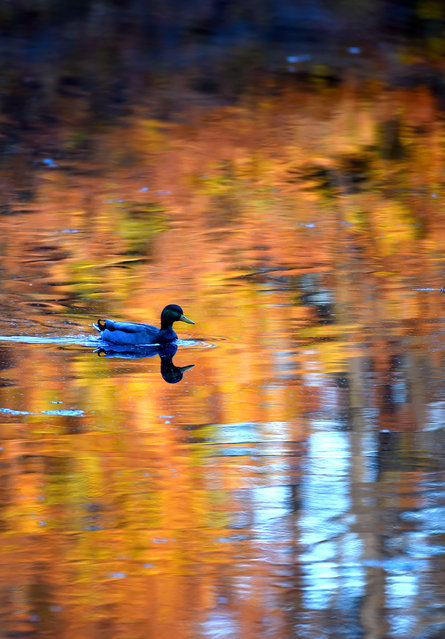 A Mallard duck cruises across a pond that is reflecting fall colors on November 10, 2014 in Crofton, MD. (Photo by Jonathan Newton/The Washington Post)