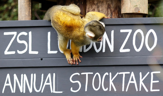 A squirrel monkeys sits on a placard during the Annual Stocktake at ZSL London Zoo in London, Britain February 7, 2018. (Photo by Tom Jacobs/Reuters)