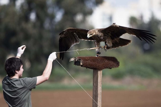 A worker of the Ramat Gan Safari Park Wildlife Hospital pulls a string tied to the claw of a female Imperial Eagle as he helps it to regain its flying ability at a park near Tel Aviv March 3, 2013. Brought to the wildlife hospital some four months ago with a broken wing, the eagle underwent surgery and physiotherapy. The training is needed in order to build the eagle's flight muscles, which were atrophied while it was recovering from the injury. The eagle will be released in a few days, safari spokeswoman Sagit Horowitz said on Sunday. (Photo by Nir Elias/Reuters)