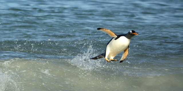 A lone penguin balancing cooly on a single foot as it catches a wave. (Photo by Shanu Subra/Solent News/SIPA Press)