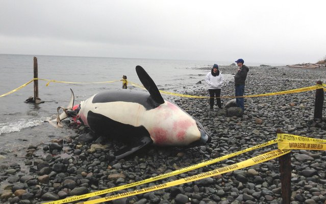 A pregnant killer whale, surrounded by security tape, lies dead on a beach in Courtenay, British Columbia December 8, 2014. The pregnant killer whale, from an endangered U.S. Pacific Northwest pod, found dead in Canadian waters last week had several of her teeth stolen after her body was pulled to shore to await a necropsy, experts in Washington state said on Monday. (Photo by Michael Briones/Reuters/Comox Valley Echo)