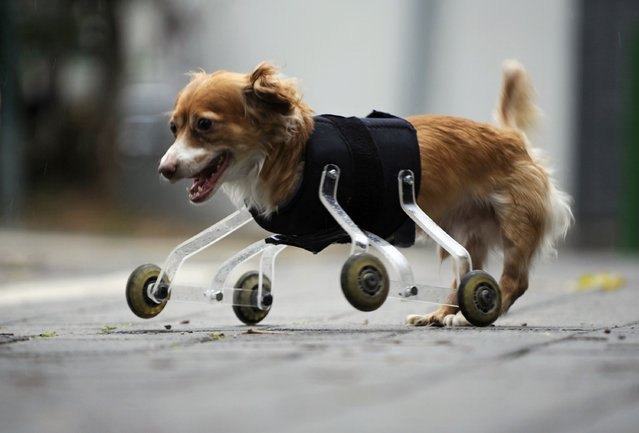 Hoppa, a four-year-old mixed breed dog born without front legs, uses a prosthetic device to walk outside in the central Israeli city of Tel Aviv February 28, 2010. The device was invented especially for Hoppa by a animal-loving art student, who hopes his wheeling device will improve the lives of pets born with abnormalities or with amputated limbs. (Photo by Amir Cohen/Reuters)