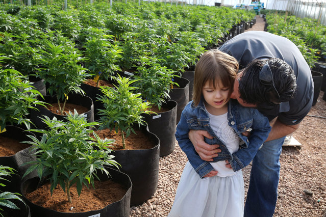 In this February 7, 2014 file photo, Matt Figi hugs and tickles his once severely-ill seven year old daughter Charlotte, as they walk together inside a greenhouse for a special strain of medical marijuana known as Charlotte's Web, which was named after the girl early in her treatment for crippling severe epilepsy, in the mountains west of Colorado Springs, Colo. (Photo by Brennan Linsley/AP Photo)