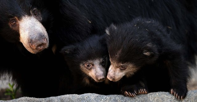 Hani, a 10-year-old sloth bear, wanders her enclosure with her two cubs at the Brookfield Zoo in Brookfield, Illinois. (Photo by Scott Olson/Getty Images)