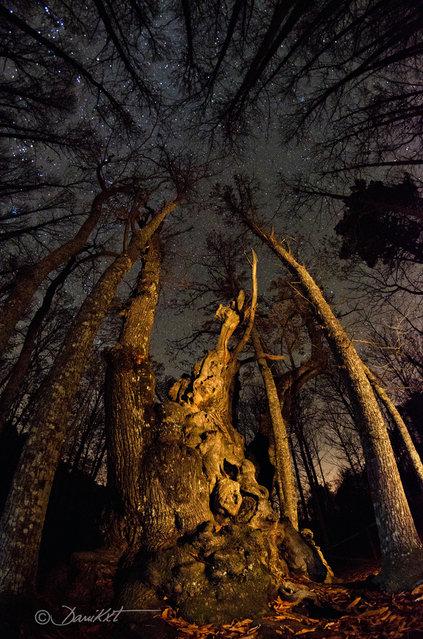 """""""El Abuelo (El Tiemblo). Chestnut tree about 1000 years old"""". (danicaxete)"""