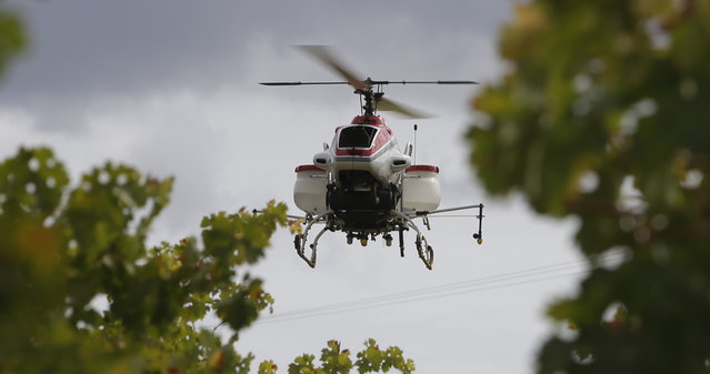 In this Wednesday, October 15, 2014 photo, the Yamaha RMax unmanned helicopter flies over grapevines during a demonstration of its aerial application capabilities at the University of California, Davis' Oakville Station test vineyard in Oakville, Calif. (Photo by Rich Pedroncelli/AP Photo)