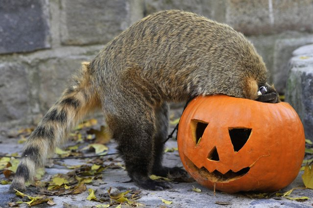 A ring-tailed coati (Nasua nasua) feeds from a carved pumpkin in its enclosure at the zoo in Budapest, Hungary, Friday, October 28, 2016, three days ahead of Halloween. (Photo by Attila Kovacs/MTI via AP Photo)