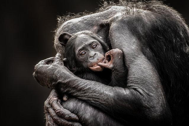 """One Mothers Love"". I love watching the affection and attention that Bonobos have for their young. They truly are a wonderful species of ape. Location: Jacksonville Zoo, Jacksonville, Florida, USA. (Photo and caption by Graham McGeorge/National Geographic Traveler Photo Contest)"