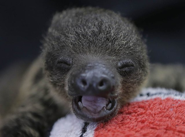 A baby two-toed sloth yawns at Chiba Zoological Park near Tokyo on June 23, 2013. (Photo by Itsuo Inouye/AP Photo)
