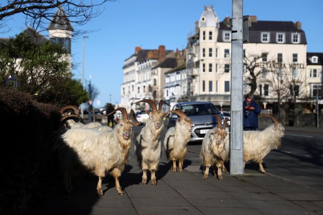 Goats are seen on a sidewalk, as the spread of the coronavirus disease (COVID-19) continues, Llandudno, Wales, Britain February 22, 2021. The herd of Kashmir goats has visited the seaside resort town several times since the coronavirus pandemic began, roaming streets emptied during lockdown and feasting on hedges. (Photo by Carl Recine/Reuters)