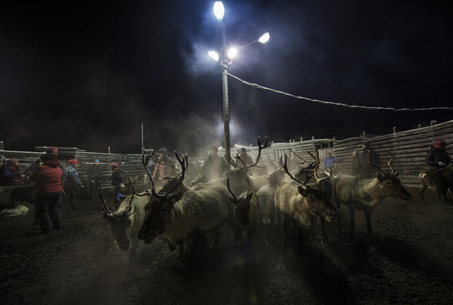 Sami people from the Vilhelmina Norra Sameby, gather their reindeers herd in a corral for selection and calf labelling on October 27, 2016 near the village of Dikanaess, about 800 kilometers north-west of the capital Sweden. (Photo by Jonathan Nackstrand/AFP Photo)