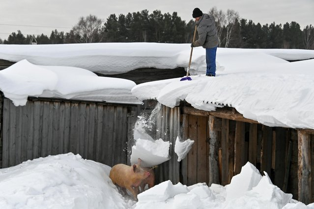 A local resident stands on the roof of a wooden building while removing snow, which falls down on pigs in a courtyard in the village of Bobrovka in Omsk Region, Russia on March 18, 2021. (Photo by Alexey Malgavko/Reuters)