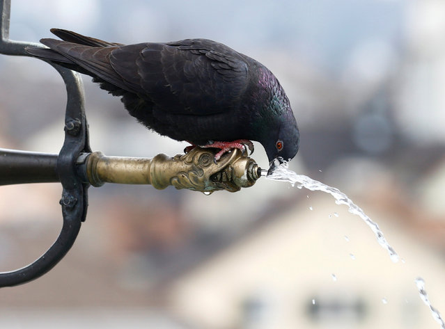A pigeon drinks water from a fountain in a public park, as the spread of the coronavirus disease (COVID-19) continues, in Zurich, Switzerland on March 4, 2021. (Photo by Arnd Wiegmann/Reuters)
