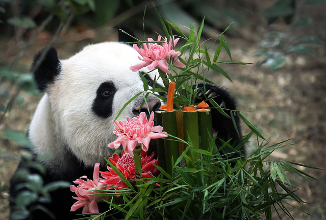 Kai Kai, a male Giant Panda sniffs at his custom-made birthday cake of bamboo, flowers and vegetables, Friday, Sept. 6, 2013, at the River Safari, part of the Wildlife Reserves and the Singapore Zoo in Singapore. Week-long celebrations were held to mark the first year anniversary of the arrival of two Giant Pandas from China, Kai Kai, and Jia Jia, who incidentally are celebrating their 6th and 5th birthdays, respectively this month. These Giant Pandas are on loan for 10-years as part of a collaboration between China and Singapore to raise awareness for the conservation of these critically endangered species. (Photo by Wong Maye-E/AP Photo)