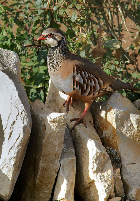 A partridge on a dry stone wall. (Photo by Adam Tatlow/BNPS)