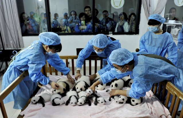 In this Monday September 23, 2013 photo, staff members arrange panda cubs in a crib for photos at the Giant Panda Breeding and Research Base in Chengdu, in southwest China's Sichuan province. Fourteen panda cubs were shown to the public at the base on Monday. (Photo by AP Photo)