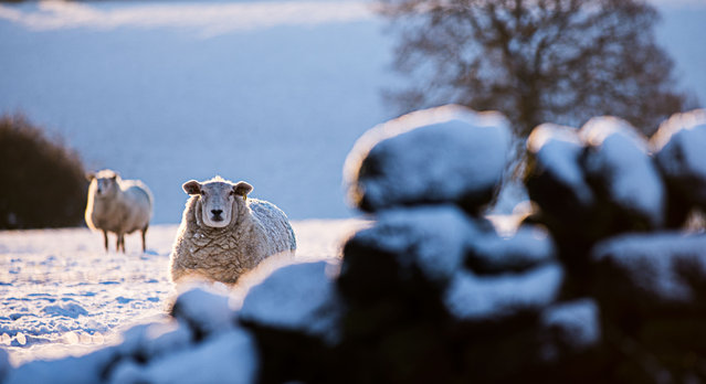 Snowy sheep on the Pennines, Yorkshire, England on January 10, 2016. (Photo by REX Features/Shutterstock)