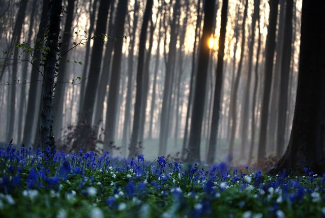 The sun rises between the trees as bluebells, also known as wild Hyacinth, bloom on the forest floor of the Hallerbos in Halle, Belgium, Tuesday, April 20, 2021. There is no stopping flowers when they bloom or blossoms when they burst in nature, but there are efforts by some local authorities to limit the viewing. Due to COVID-19 restrictions visits to the forest to see the flowers has been discouraged for a second year in a row. (Photo by Virginia Mayo/AP Photo)