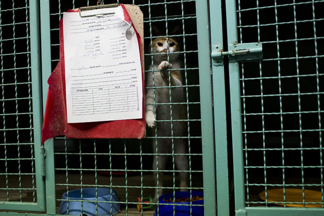 A stray cat looks out of a cage as it is treated at the SPCA (Society for Prevention of Cruelty to Animals) clinic in Tel Aviv, Israel, 06 January 2016. The Israeli street cat population is estimated to be about two million. Without enough financial support from the state, animal rights organizations find it difficult to keep the up with the pace when it comes to spaying and neutering feral cats, causing the population to grow. (Photo by Abir Sultan/EPA)