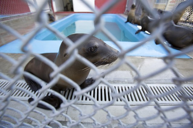 Sea lion pups are pictured in their enclosure after they were rescued at the Pacific Marine Mammal Center in Laguna Beach, California March 17, 2015. (Photo by Mario Anzuoni/Reuters)