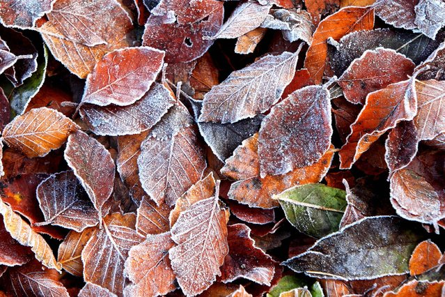 Leaves covered in frost at Beecraigs Country Park, West Lothian. (Photo by Gordon Jack/Scotimage.com)