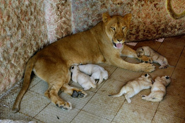 African lioness named Rani, or Queen, sits with her newly born five cubs at the house of her owner who has grown her as a pet, Thursday, March 26, 2015, in Multan, Pakistan. The African lioness has given birth to five healthy cubs. Lions normally have litters of two or three cubs. (Photo by Asim Tanveer/AP Photo)