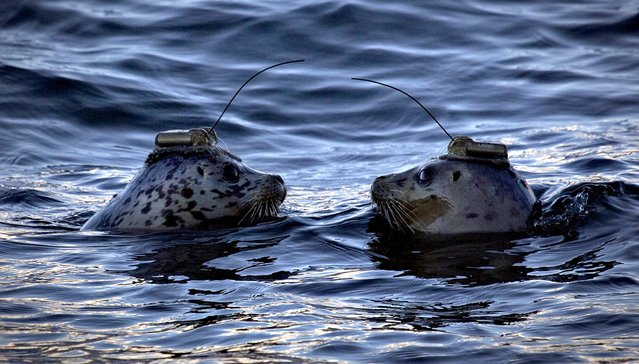 A pair of harbor seals wearing satellite-linked transmitters on their heads face each after being released into the waters of Howe Sound in Porteau Cove, British Columbia, on November 20, 2013. The seals had received months of care at the Vancouver Aquarium Marine Mammal Rescue Centre after being rescued from the wild. Wearing the transmitters will help track their movements after their release. (Photo by Andy Clark/Reuters)