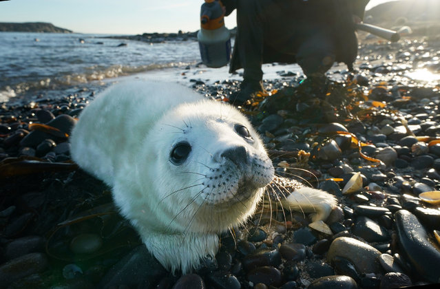 A ranger watches a seal pup near the Northumberland coast, Farne Islands, UK on December 19, 2018, where the National Trust says the number of Atlantic grey seal pups has reached a record high thanks to an abundance of food and a lack of predators. (Photo by Owen Humphreys/PA Wire Press Association)