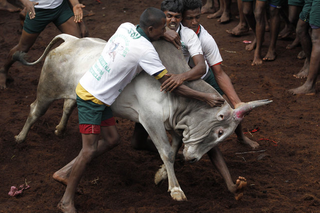 Participants try to hold on to a bull during a bull-taming sport, called Jallikattu, in Alanganallor, about 424 kilometers (264 miles) south of Chennai, India, Thursday, January 16, 2014. (Photo by Arun Sankar K./AP Photo)